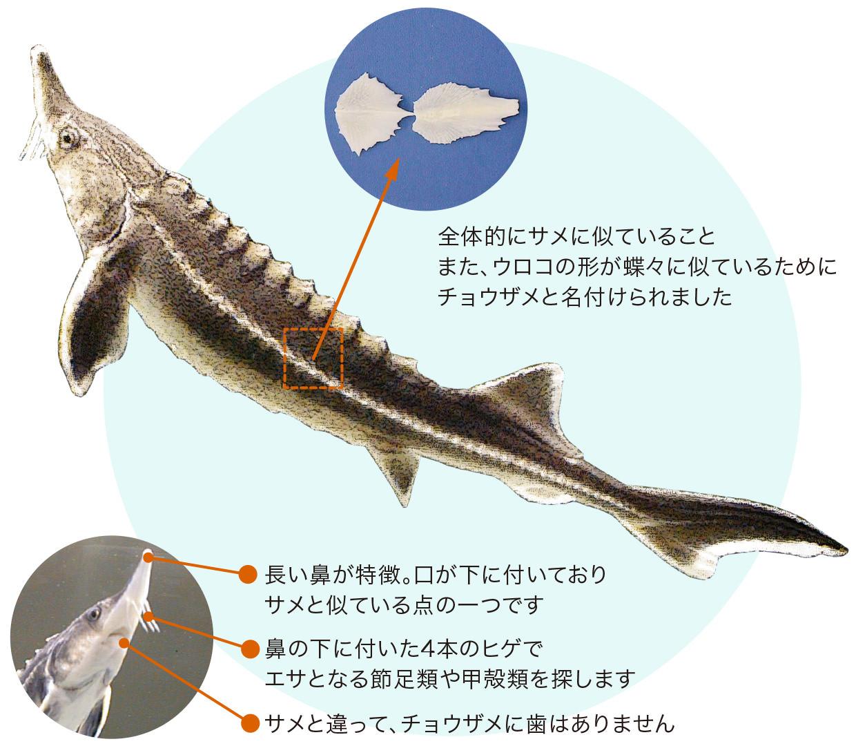 鱗 チョウザメ